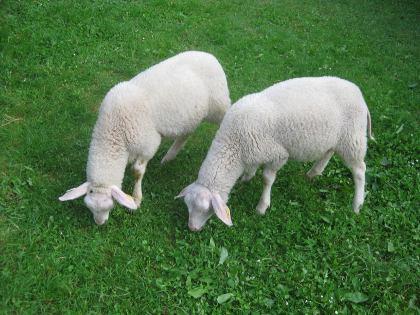 Die Schafe Shaun und Shirley